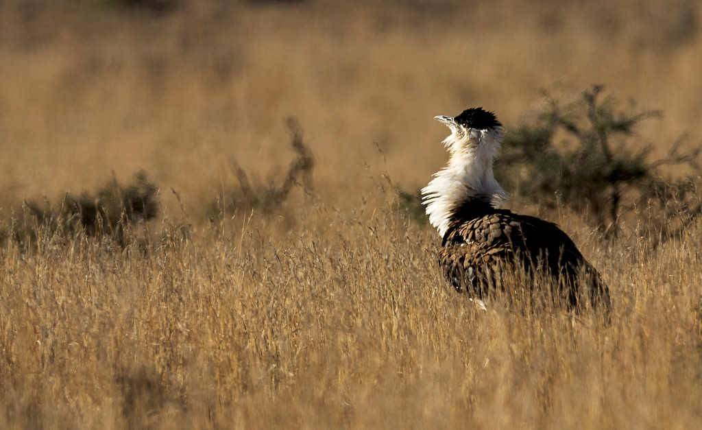 great indian bustard by nitins photography