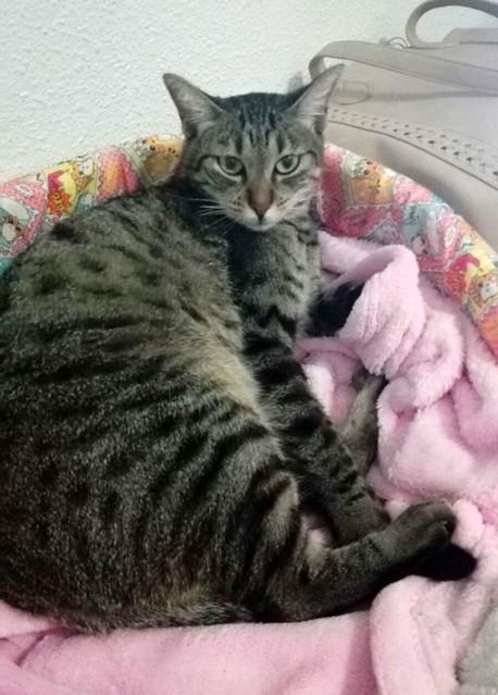 Susi, gata parda guapa y cariñosa esterilizada, nacida en Enero´15, en adopción. Valencia. ADOPTADA. 29276080523_fb736089c8_z