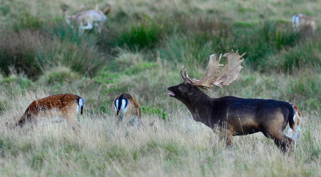Melanistic Whitetail Deer Melanistic buck | A me...