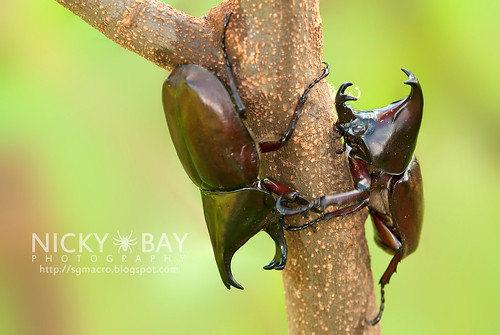 Rhinoceros Beetles (Xylotupes gideon) - DSC_7768 | by nickybay