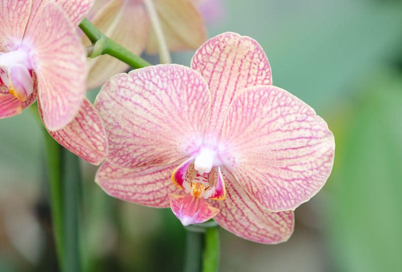 Orchidee Rose 245 Petite Fleur Flickr