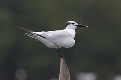 Thalasseus sandvicensis - Sandwich Tern