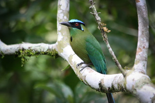 Barranquero, Pereira (Blue-crowned Motmot) | by The Colombian Way