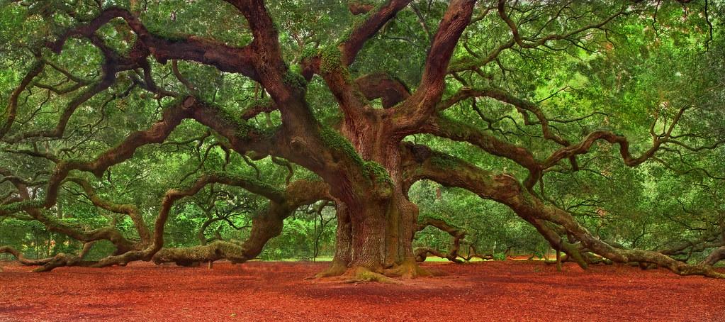 Angel Oak Tree The Angel Oak Is A Southern Live Oak Tree