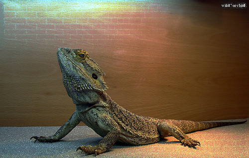 Lizard (12.05.2012, London Pet Show) | by wild7orchid