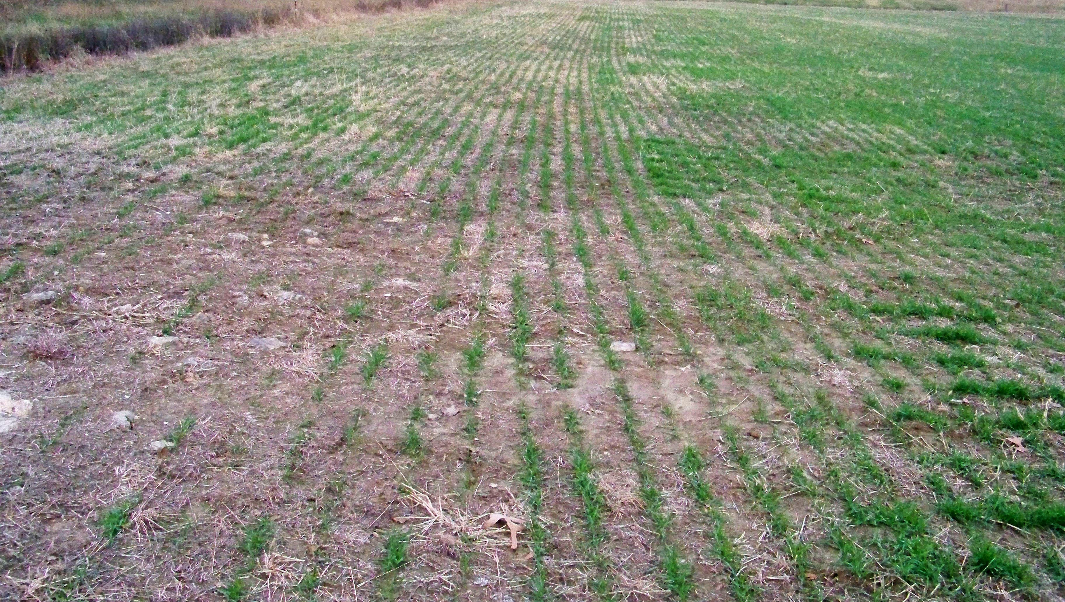 Wheat on NA11 Nov 19 2012. LFST