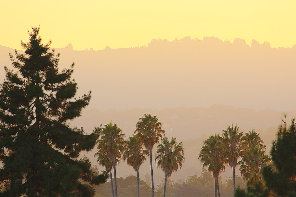 Trees in mountainview california palm trees in for Affordable pools pearl river la