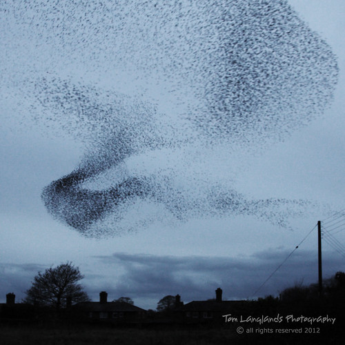 Murmuration: Starlings Form Shapes In The Sky At Gretna