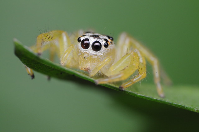 If Any Spider Can Be Called Cute, It's The Jumping Spider