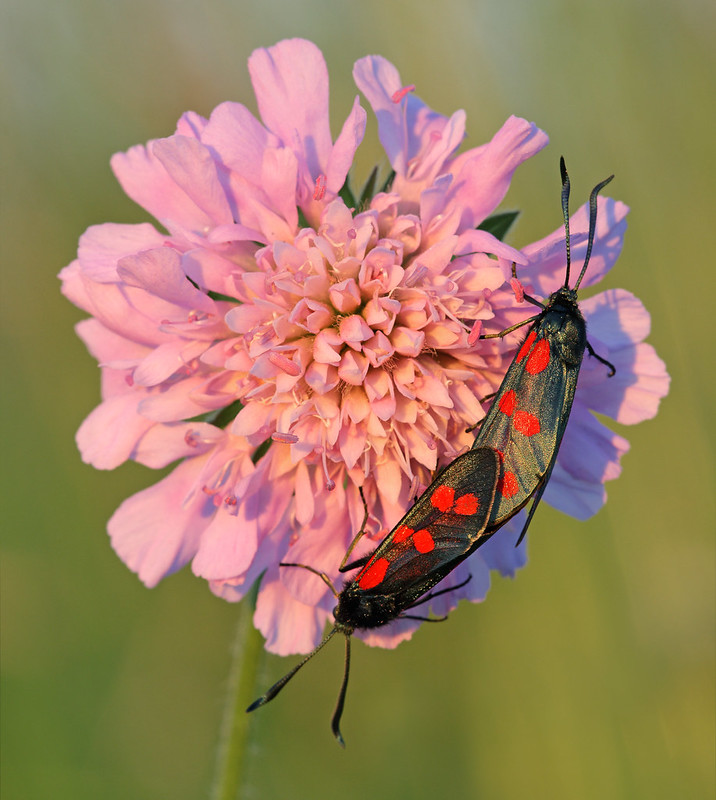 Mating six-spot burnet moths