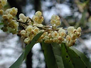 里山的民族植物:馬告花。攝影:董景生