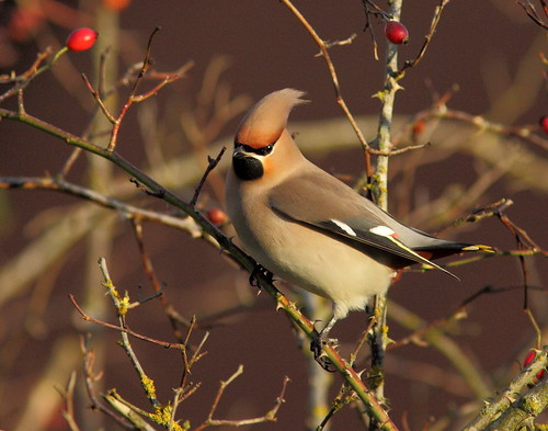 Local Waxwing | by CORPY