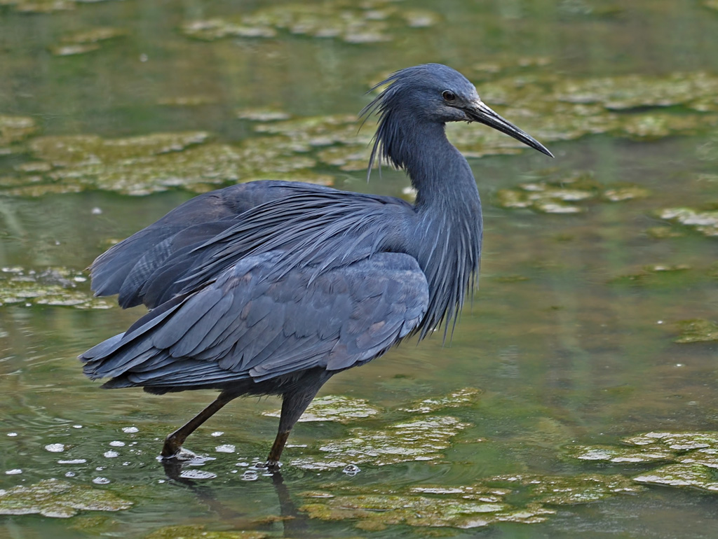 black heron egretta ardesiaca it looks black from a dist flickr