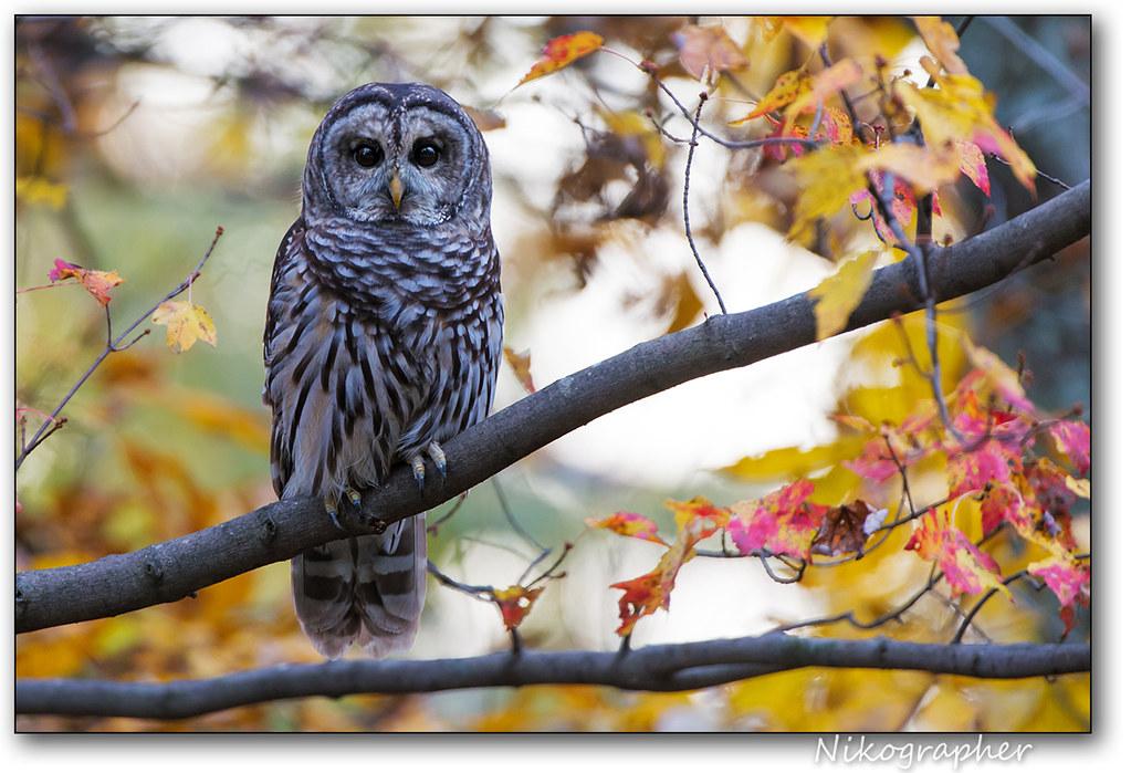 Barred Owl @ Shenandoah National Park, VA