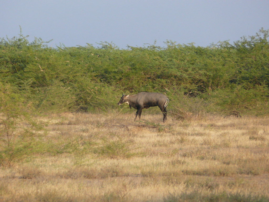 Dasada India  city photo : grazing | Nilgai Outside of Dasada, India | ccarlstead | Flickr