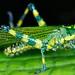 Aposematic grasshopper