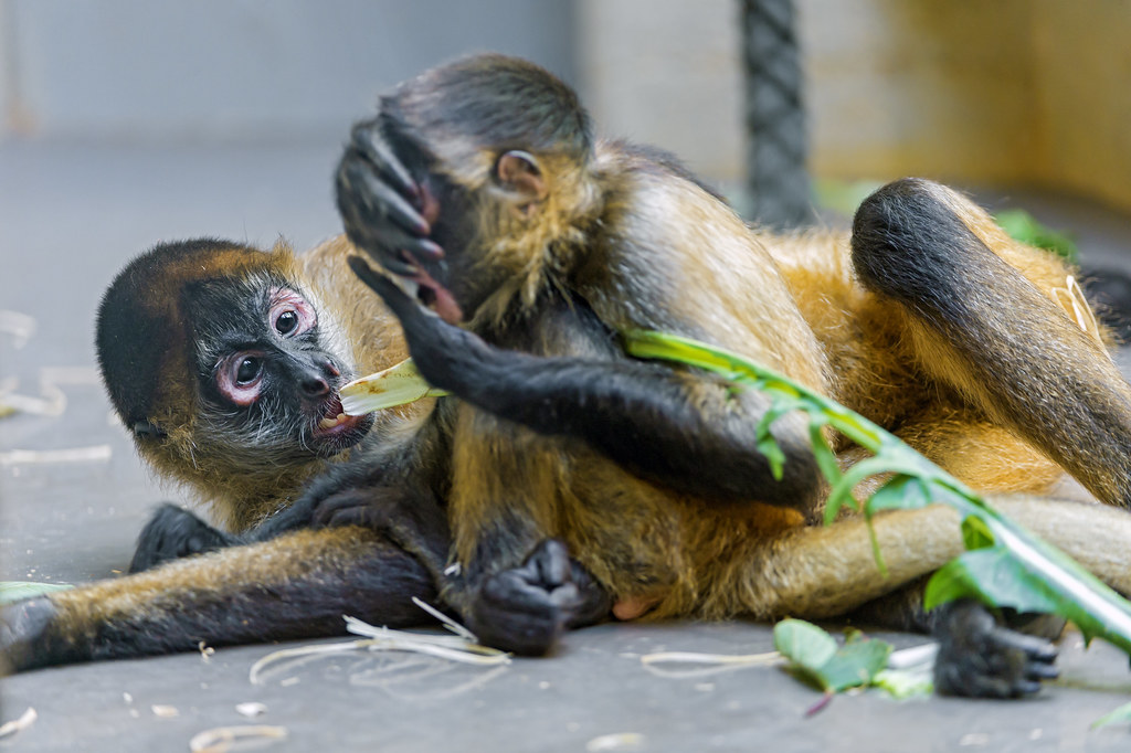 Young spider monkeys playing | It was hard with the light ...