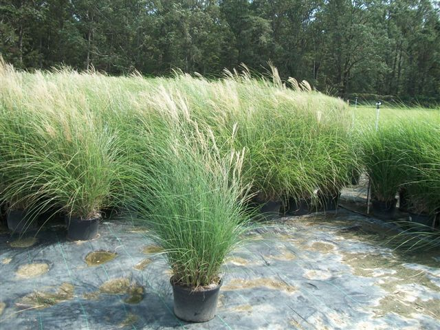 miscanthus sinensis 39 gracillimus 39 zone 5 9 height 6. Black Bedroom Furniture Sets. Home Design Ideas