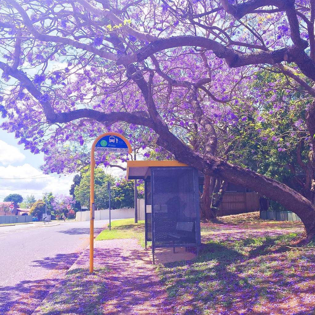 The Purple World Jacaranda Brisbane Australia Spring Flickr
