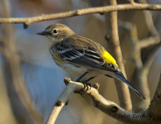 Yellow Rumped Warbler | by ritchey.jj