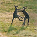Roo fight 1