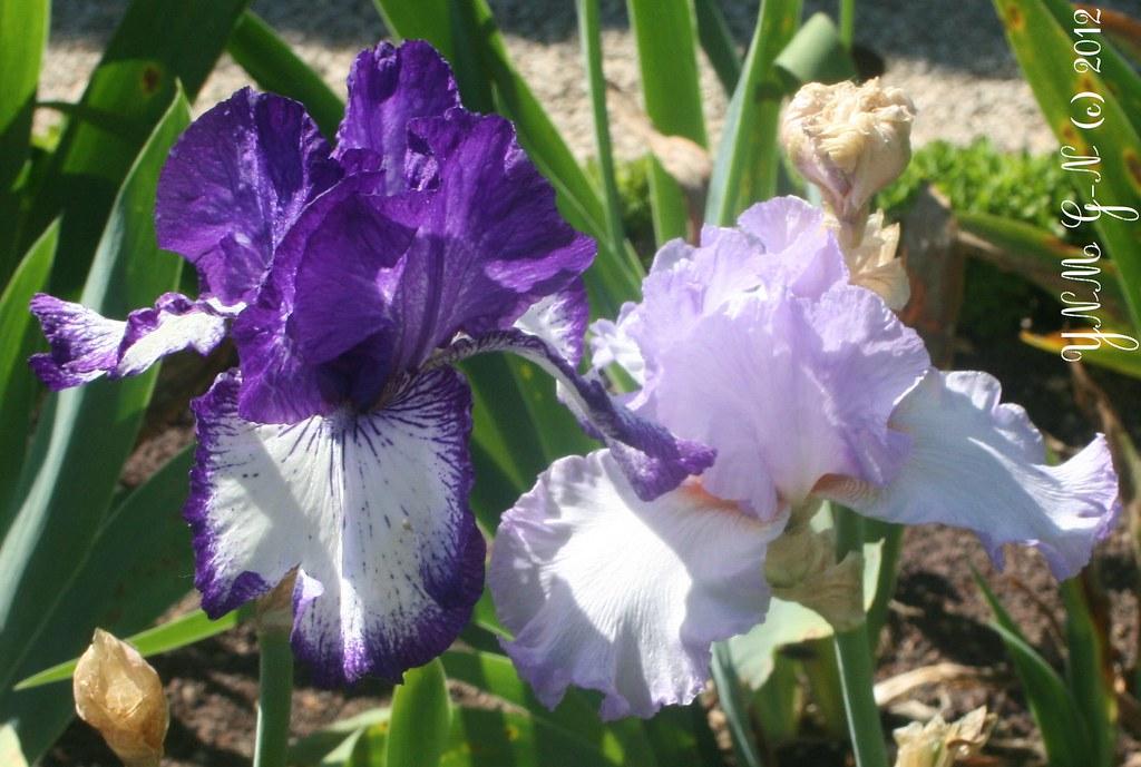 Collection jardin d 39 iris parc de bagatelle paris 75 for Aubade jardin d iris