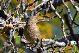 IMG_1744 Curve-billed Thrasher | by lois manowitz