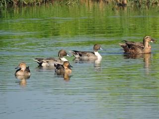 二仁溪的廢棄魚塭形成水塘,吸引雁鴨科鳥類棲息。圖片來源:台灣濕地保護聯盟提供。