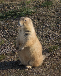 Black-tailed prairie dog | by julesberry2001