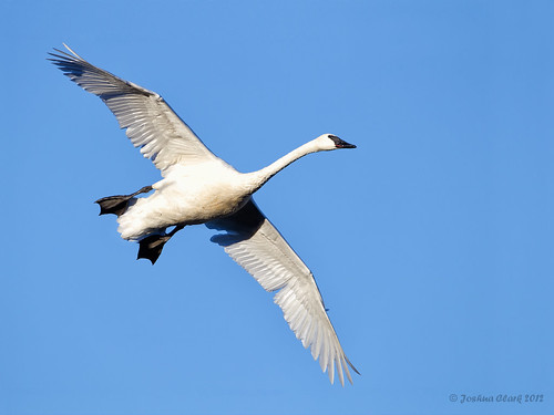 Trumpeter Swan in flight | by www.momentsinature.com