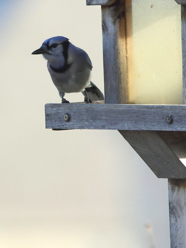 Blue Jay 20121117 | by Kenneth Cole Schneider