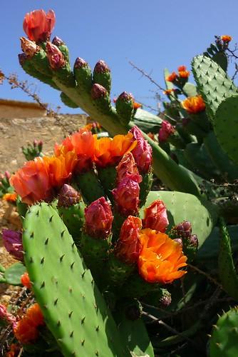 flor de cactus 2 mientra haya flores habr primaveras calafellvalo flickr. Black Bedroom Furniture Sets. Home Design Ideas