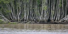 Sea-eagle Using Uprooted Mangrove As A Feeding Post, 8th February 2008