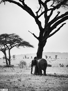 """Hide and seek"" - Serengeti - Tanzania - Africa 