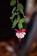 Fuchsia in November