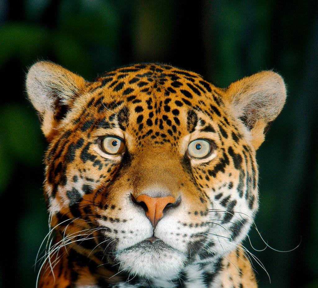 Jaguar (Panthera onca)_6