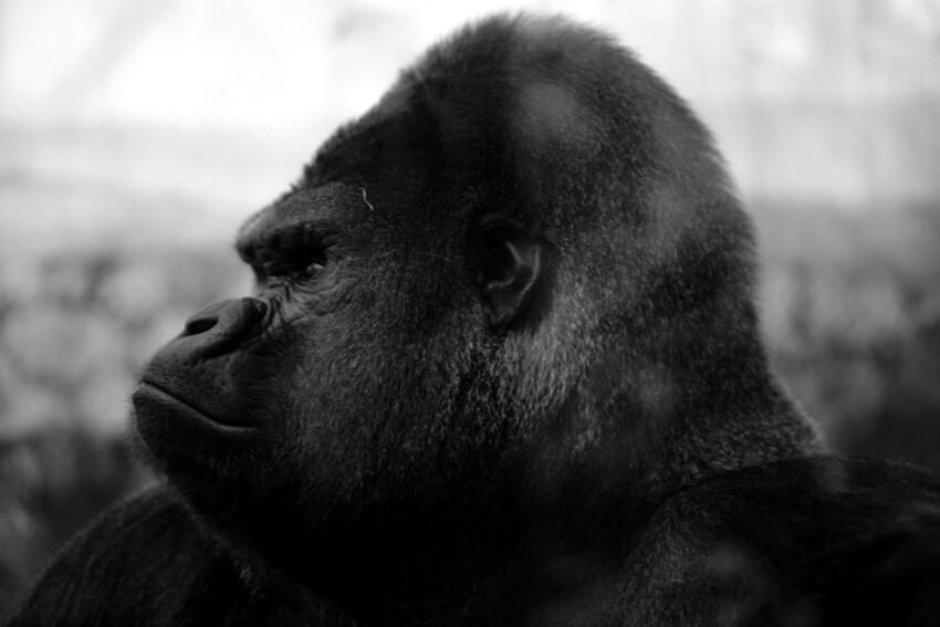 Le profil du gorille un animal tres impressionnant - Dessin d un gorille ...