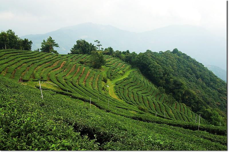 眉溪山茶園 3