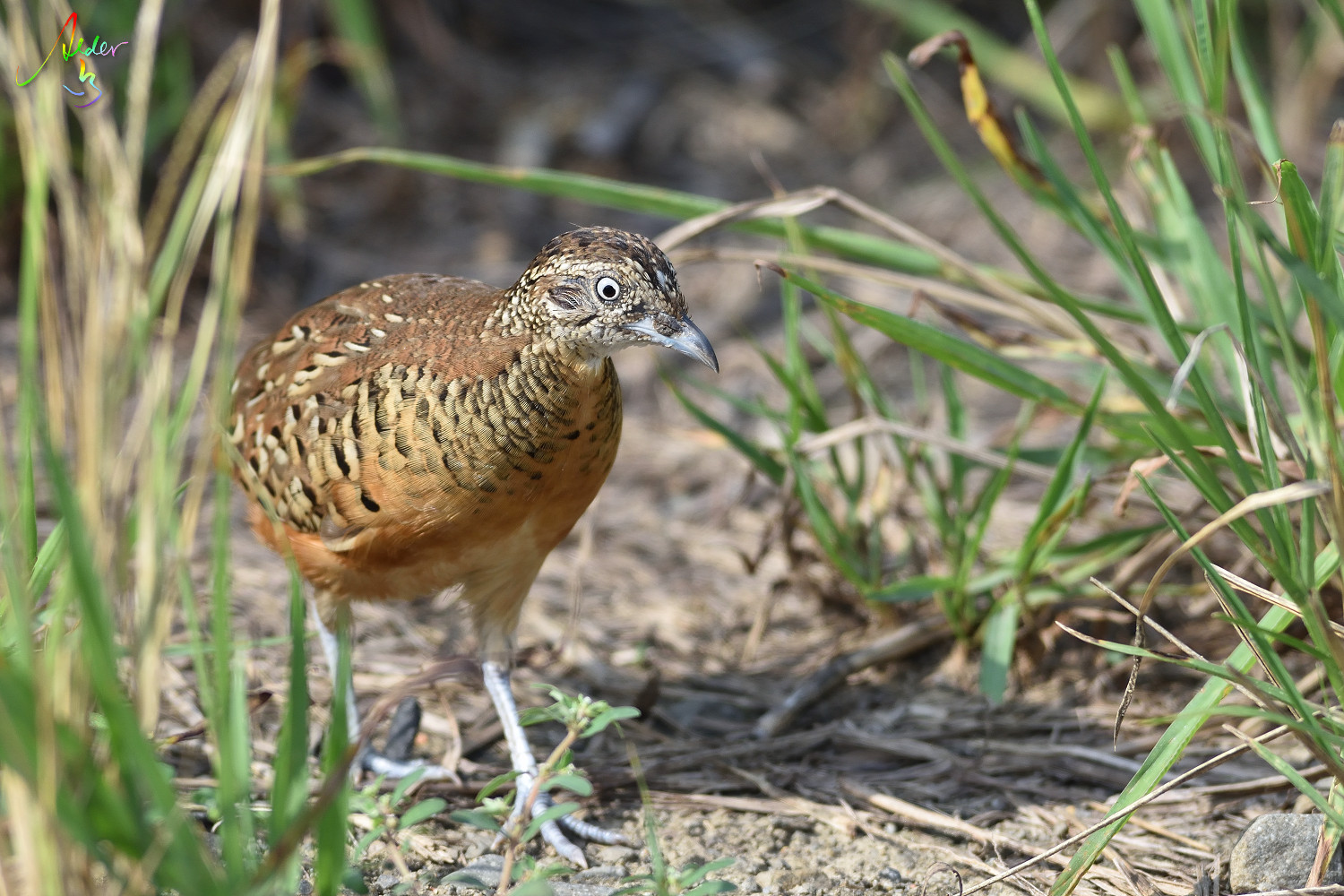 Barred_Butonquail_9480