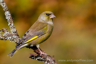 Greenfinch | by Andy Morffew