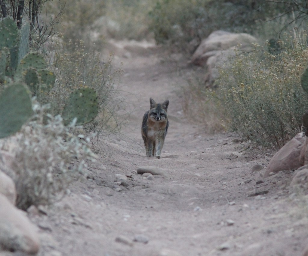 Gray Fox, Bright Angel Campground, Grand Canyon NP, AZ, November 7, 2012 | by Caleb Putnam