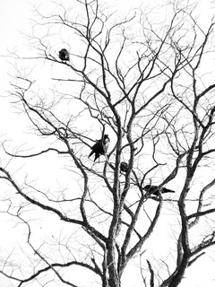 Crows | by Dendroica cerulea