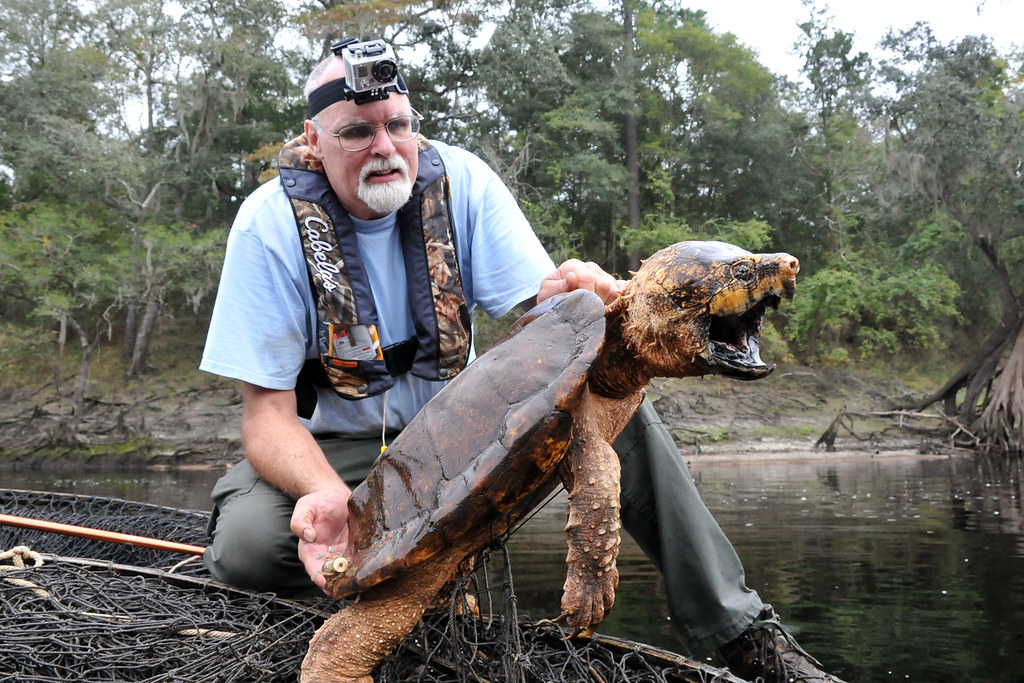 Alligator Snapping Turtle Fwc Biologists Conduct