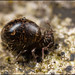 Globular Springtail - Allacma fusca