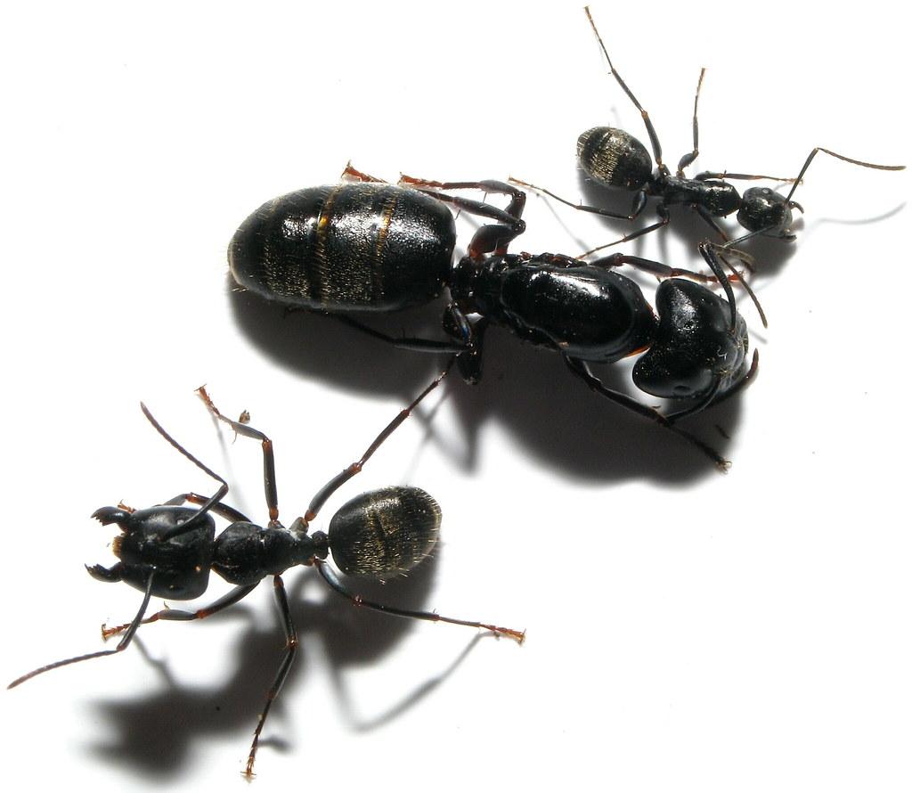 Queen Ant Actual Size Queen Size Comparison ...
