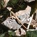 Brown basilisk lizard (aka Jesus Lizard. This is one of those lizards that can run across water!)