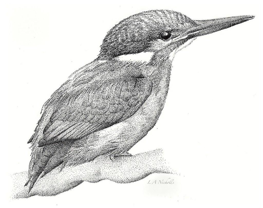 Line Drawing Kingfisher : The kingfisher laura nicholls flickr