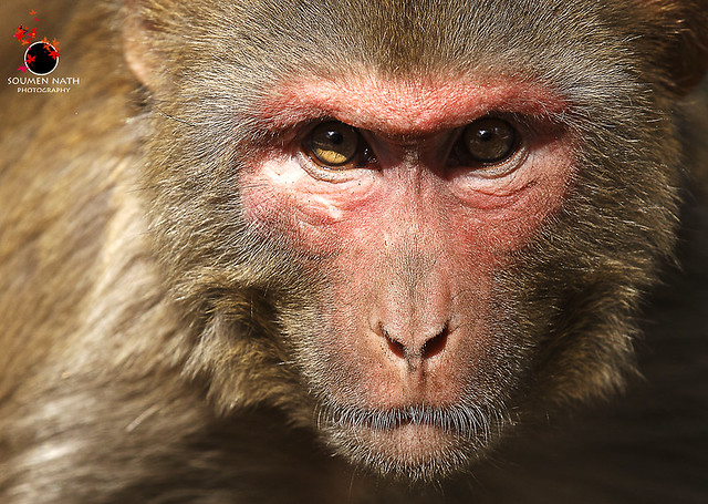 Angry baboon face - photo#2