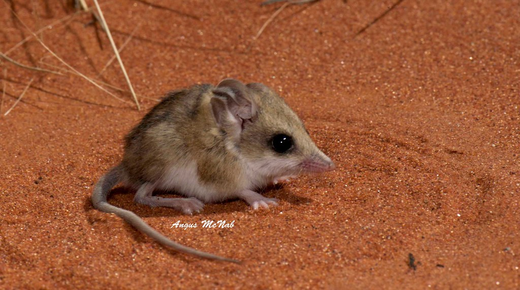 lesser hairy footed dunnart sminthopsis youngsoni flickr. Black Bedroom Furniture Sets. Home Design Ideas