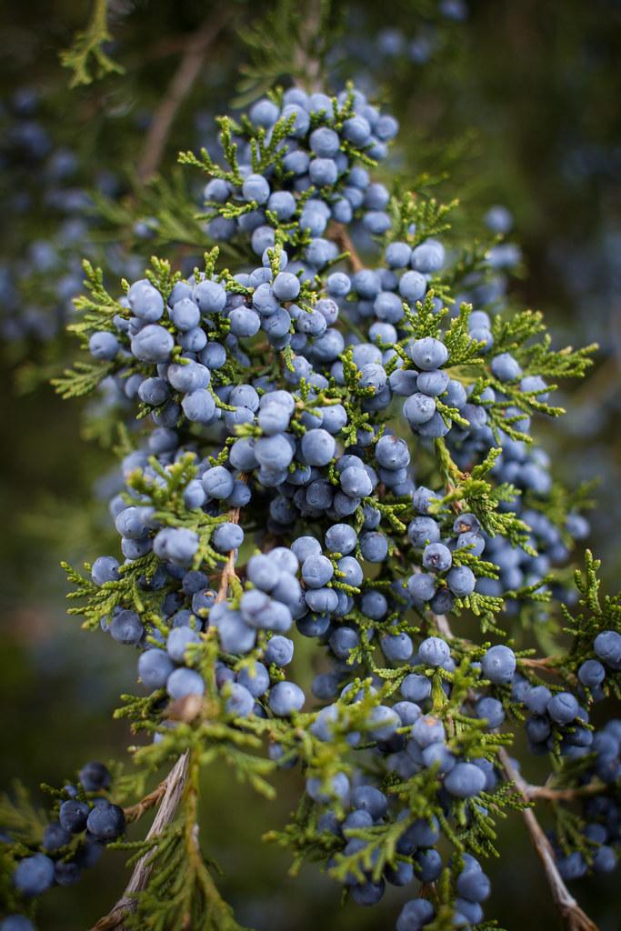 Eastern red cedar berries is one of